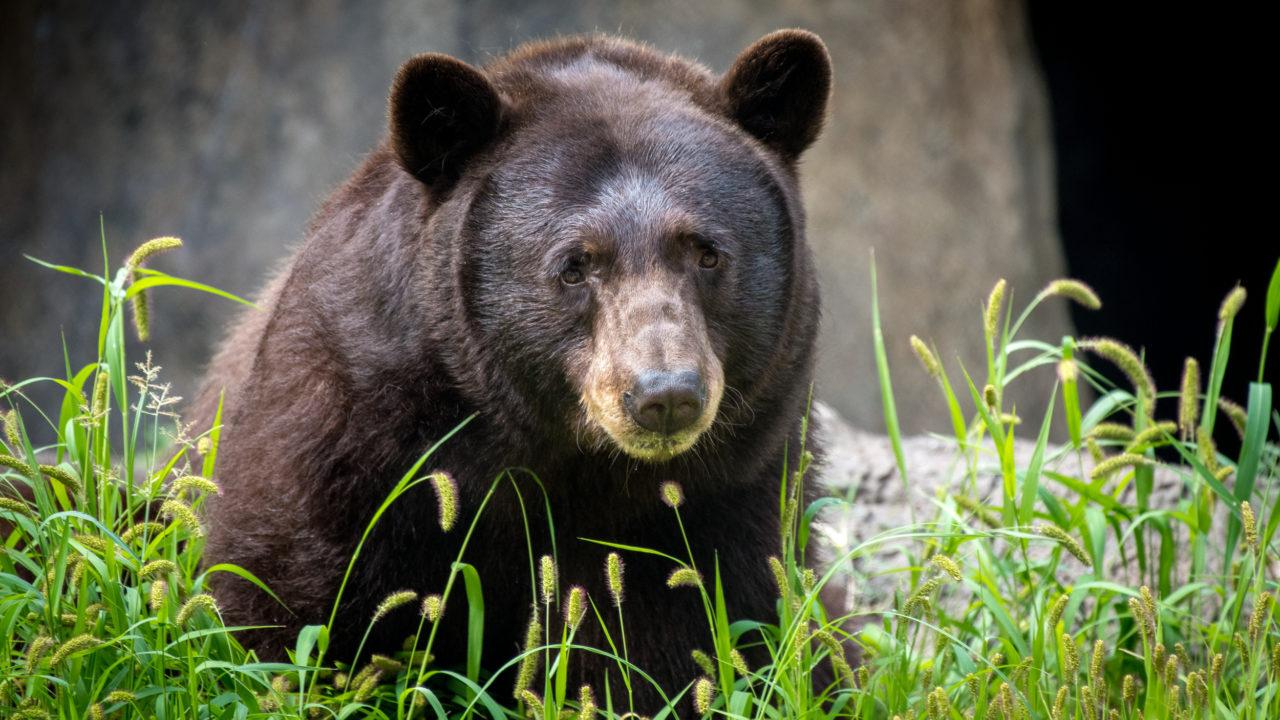 black bear sitting outside in grass