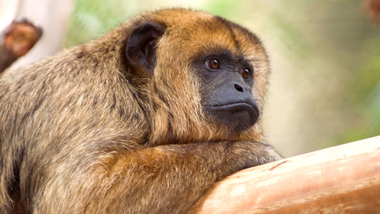black and gold howler monkey resting on branch