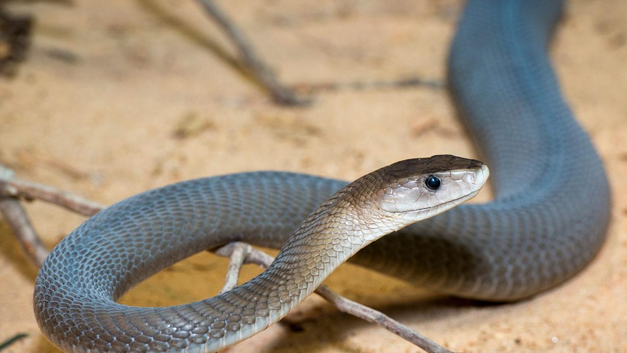 black mamba snake inside reptile house