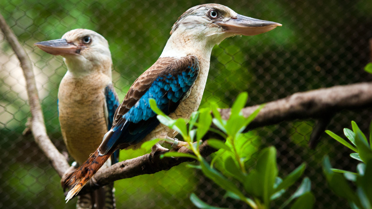 two blue-winged kookaburra birds on tree branches