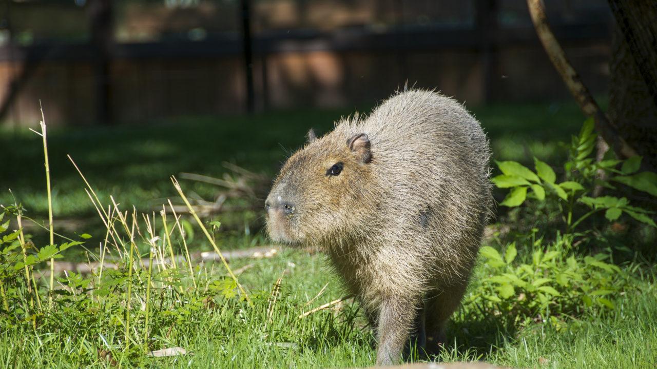 capybara walking outside in habitat