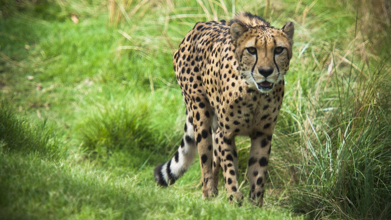 cheetah walking outdoors through grass