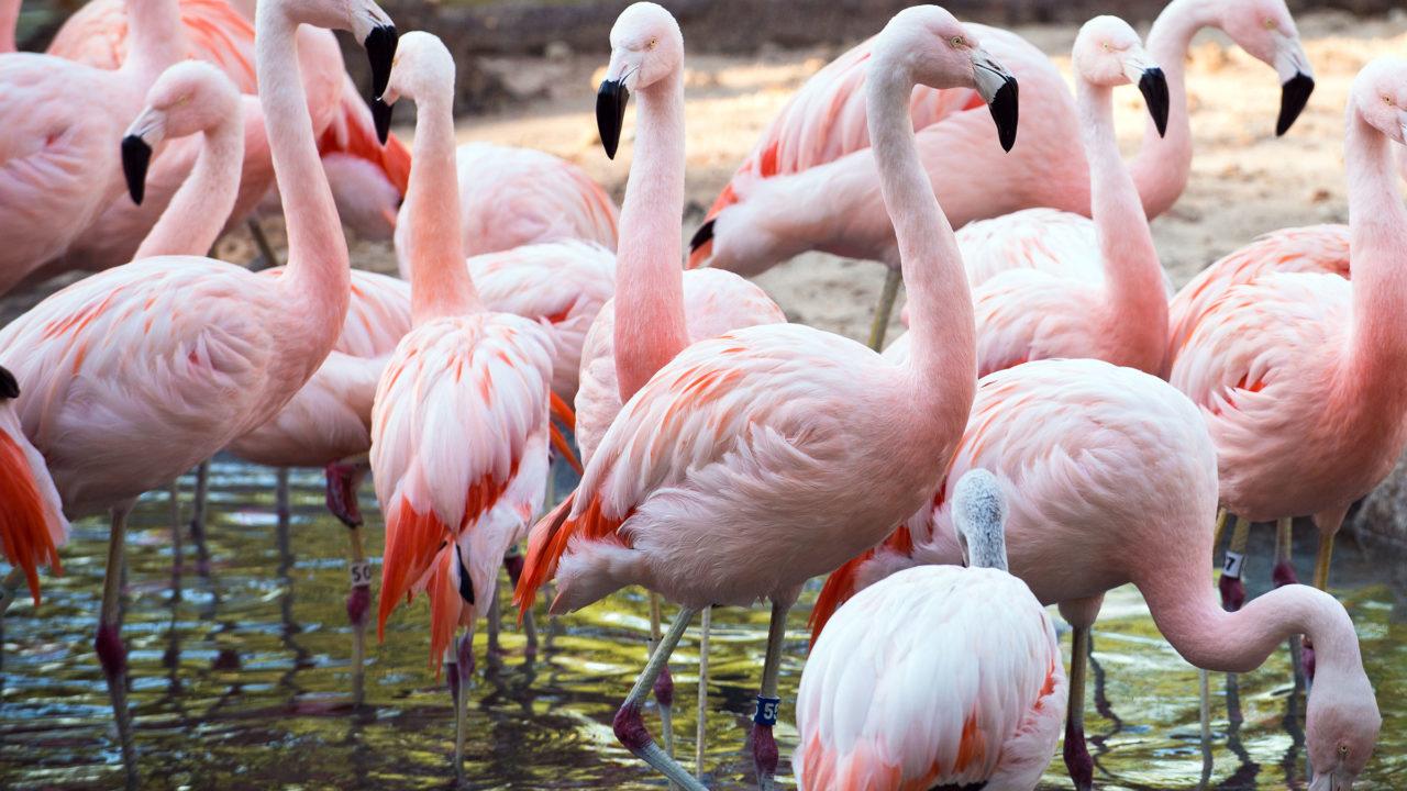 flock of chilean flamingos in water