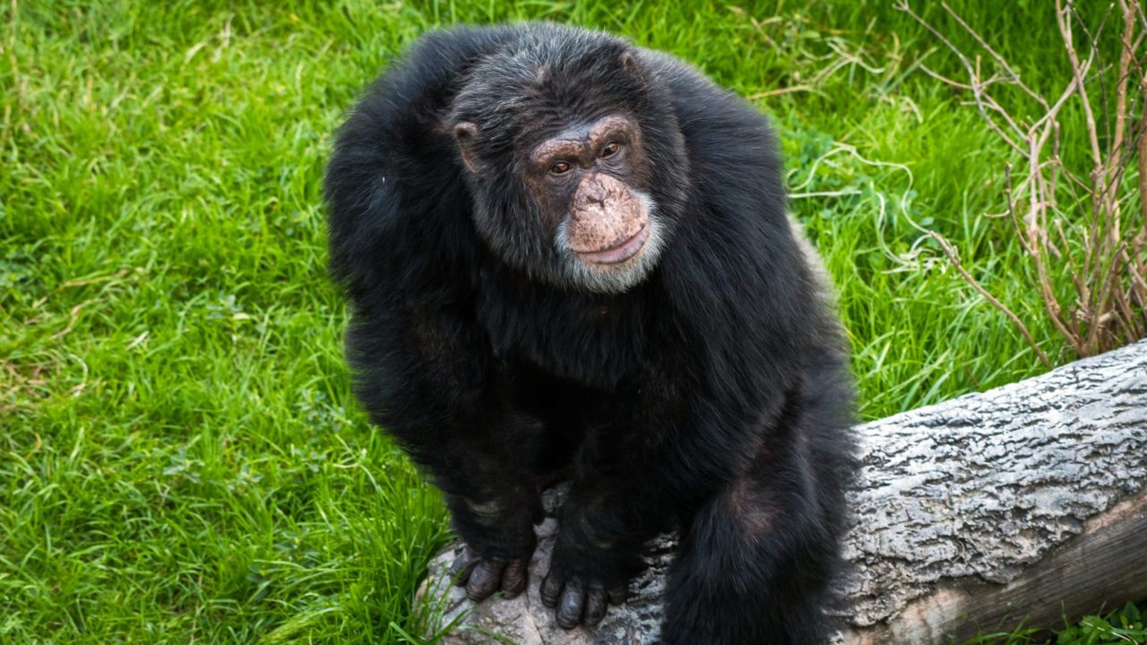 chimpanzee sitting on wooden log outside