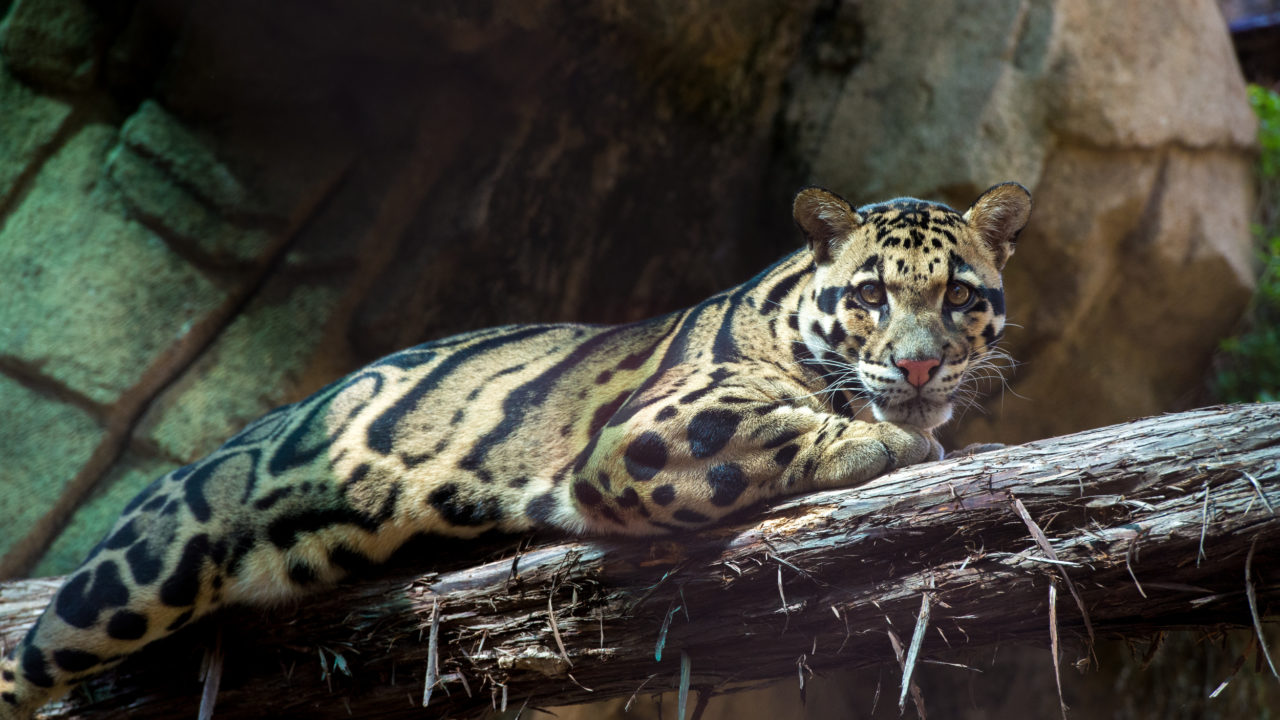 clouded leopard laying on tree branch