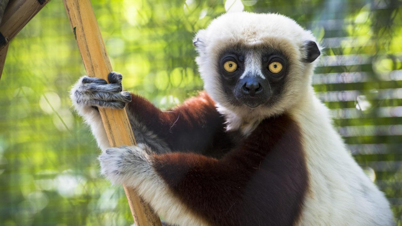 up-close shot of Coquerel's sifaka lemur hanging on branch