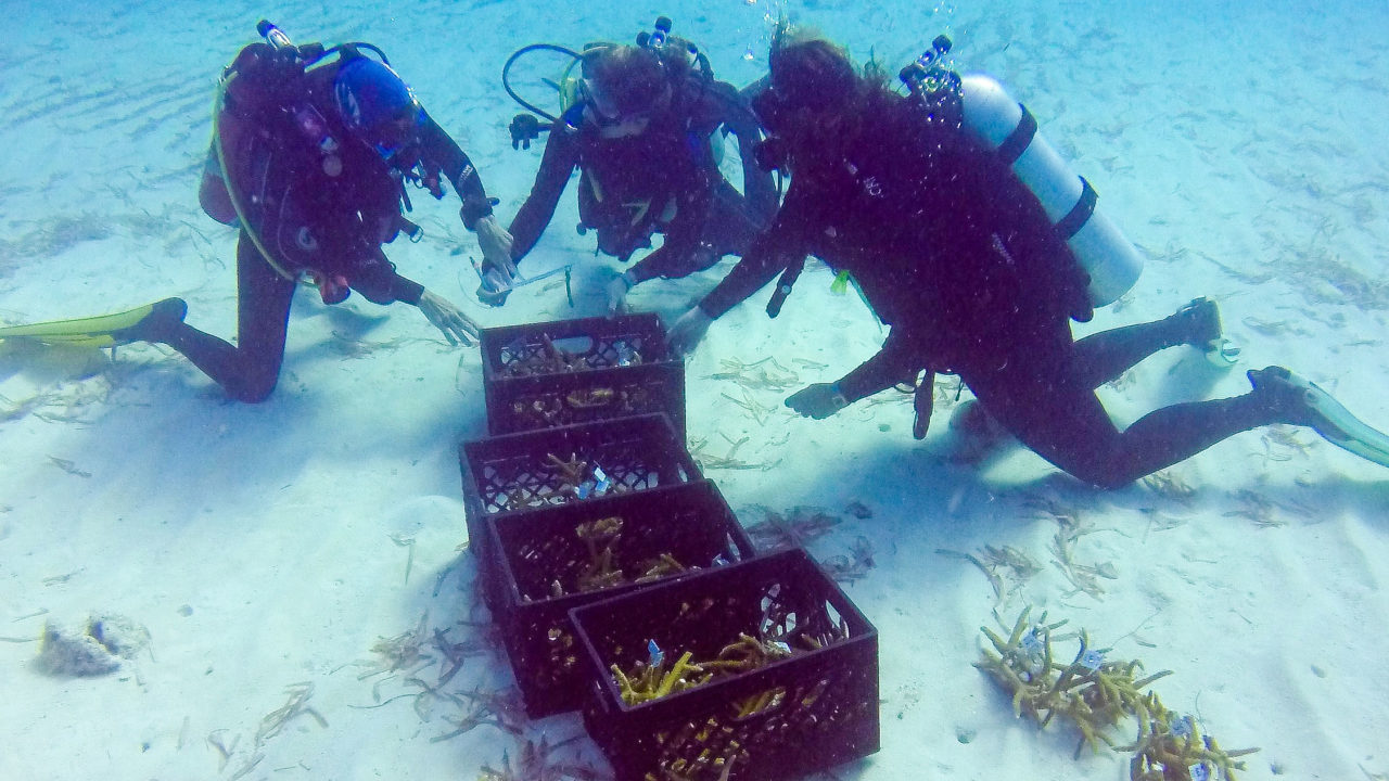 underwater coral restoration with scuba divers
