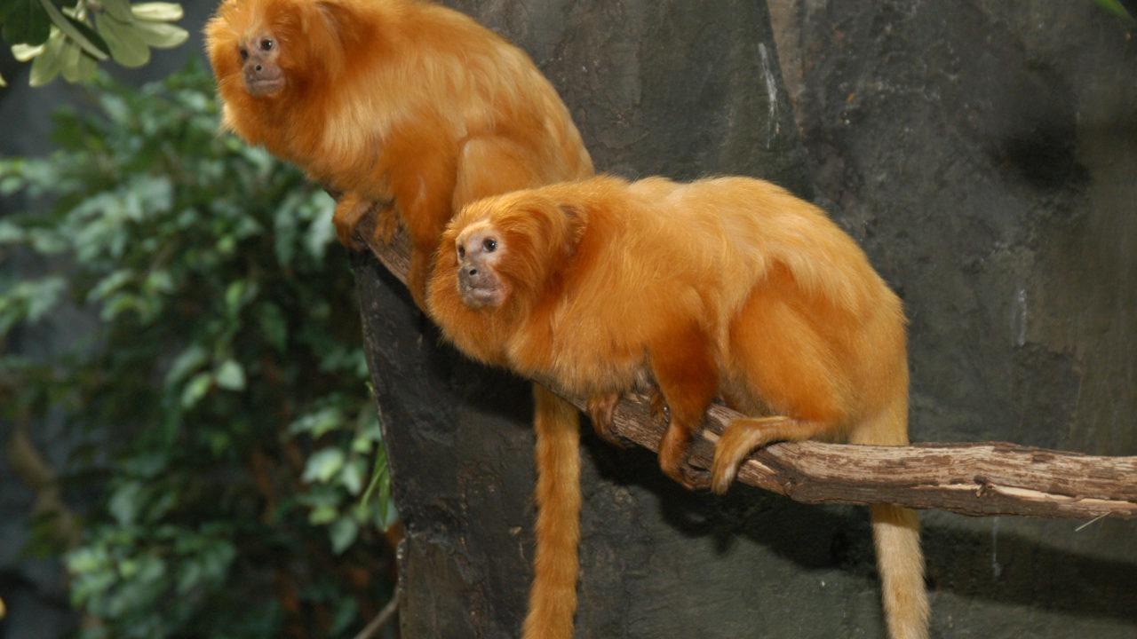 two golden lion tamarin monkeys sitting on tree branch