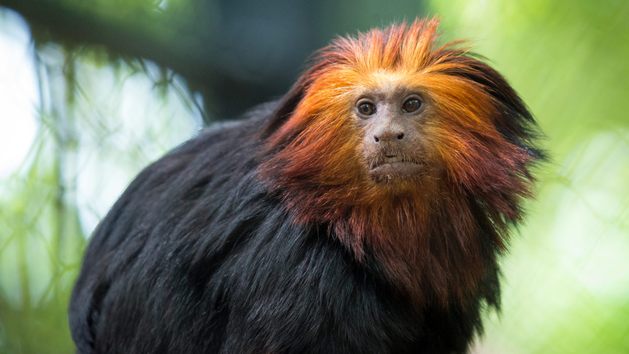 up-close shot of golden lion-headed tamarin monkey