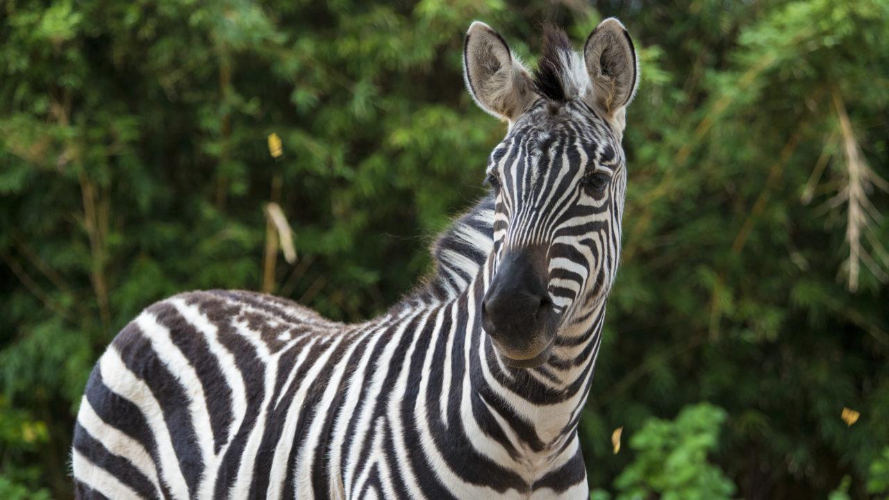 up-close shot of Grant's zebra outside in habitat