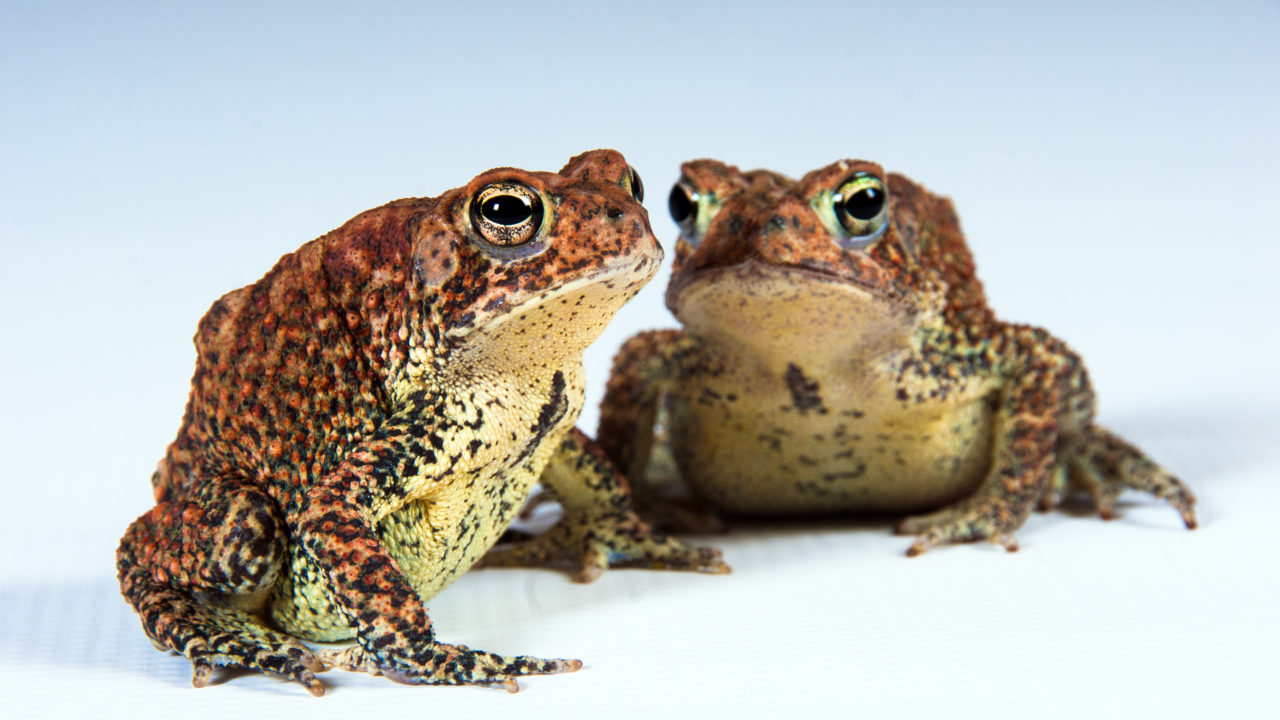 two Houston toads sitting next to each other