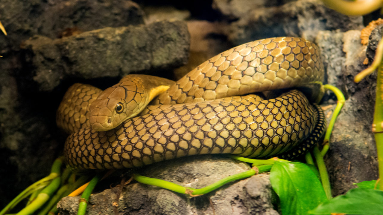 King Cobra - The Houston Zoo