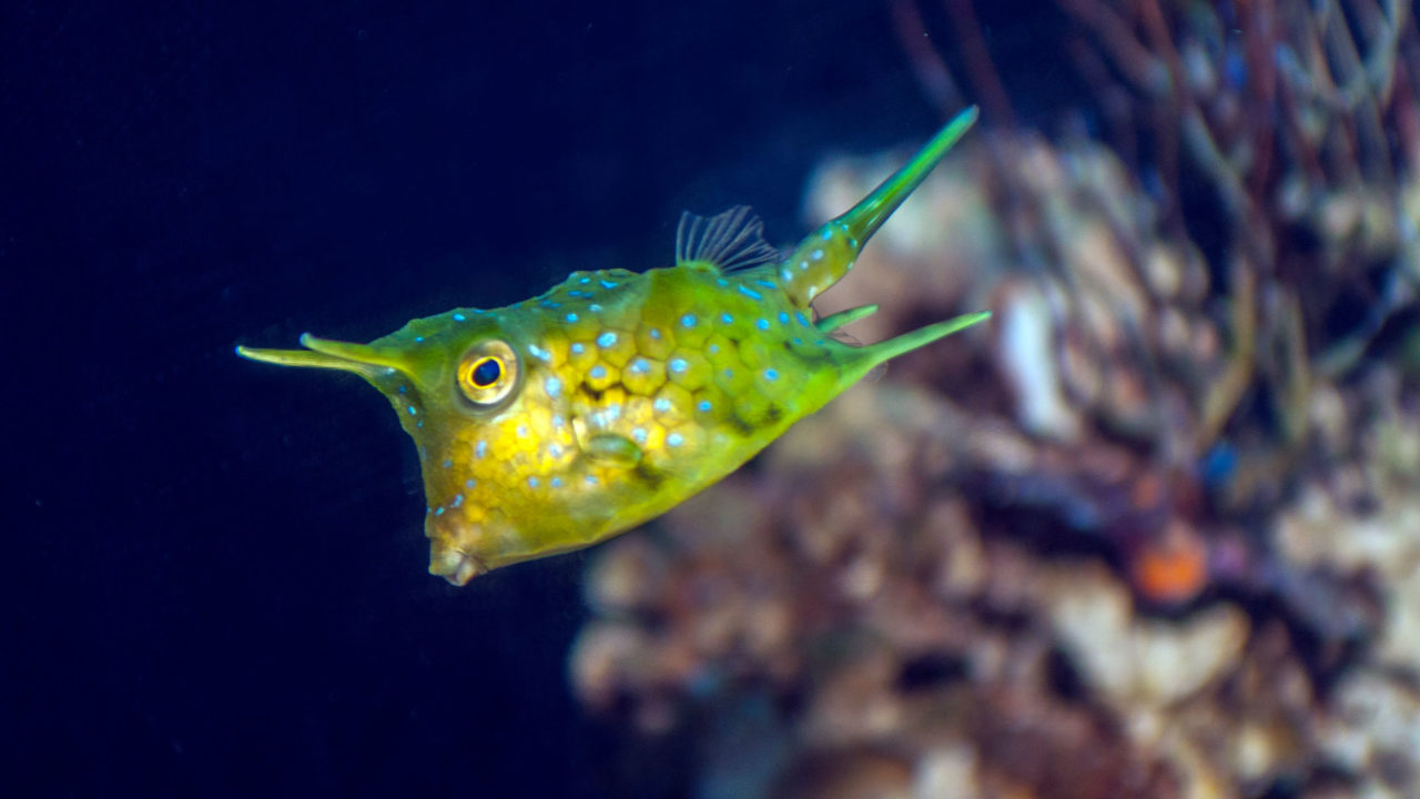 long horned cowfish swimming under water