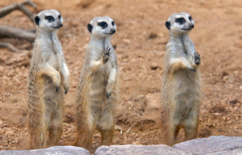 three meerkats standing with paws touching glass