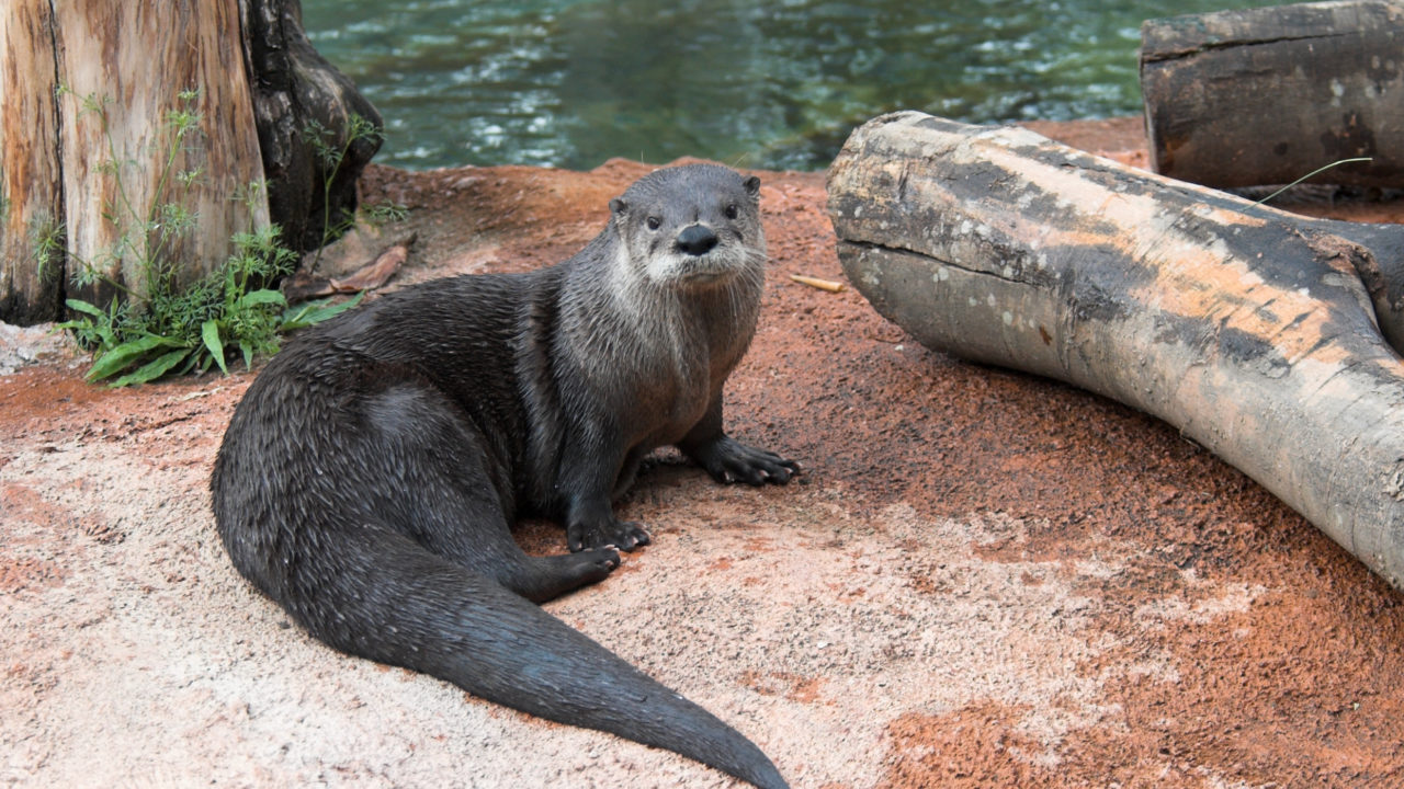 North American river otter sitting on land