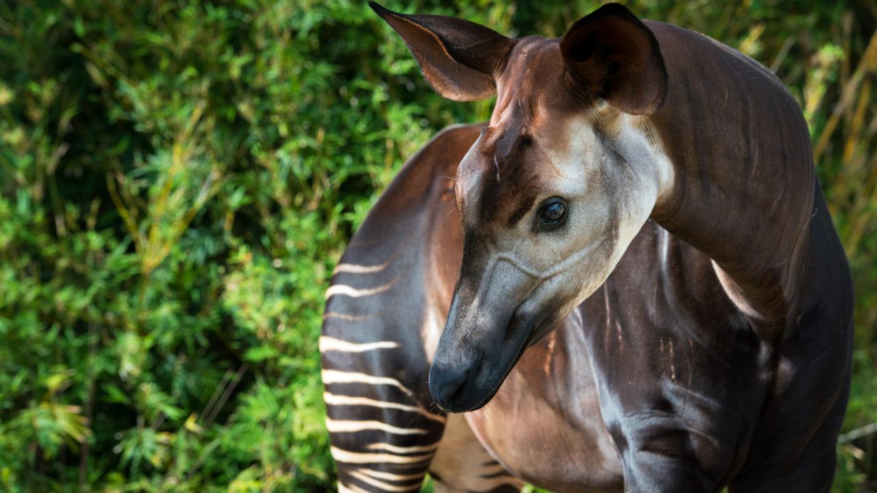 up-close shot of adult okapi looking down