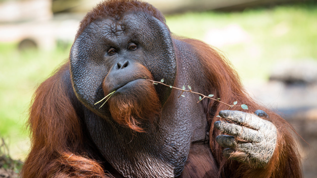 up-close shot of male orangutan nibbling on browse