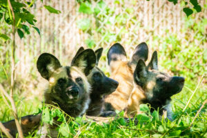 African painted dogs pack laying down outside in habitat