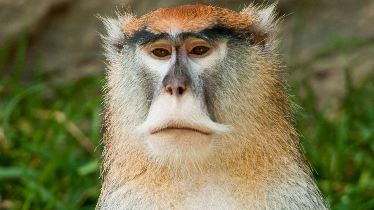 up-close shot of patas monkey