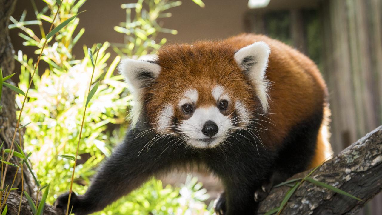 panda animals zoo houston pandas animal adopt