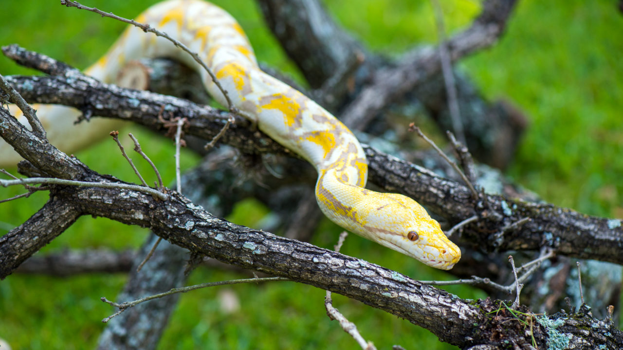 reticulated python moving on tree branch