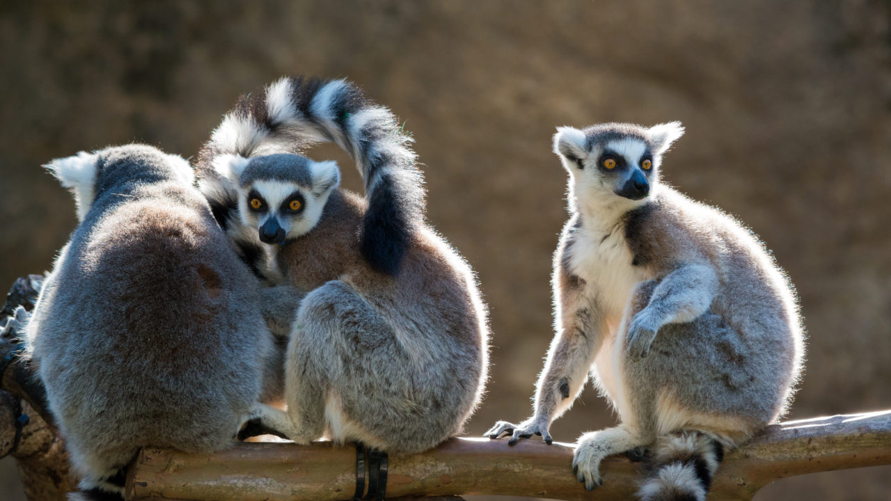 three ring-tailed lemurs sitting on tree branch