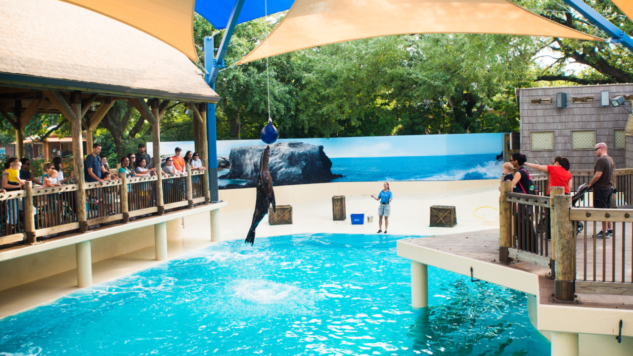 sea lion jumping in the air during zookeeper talk