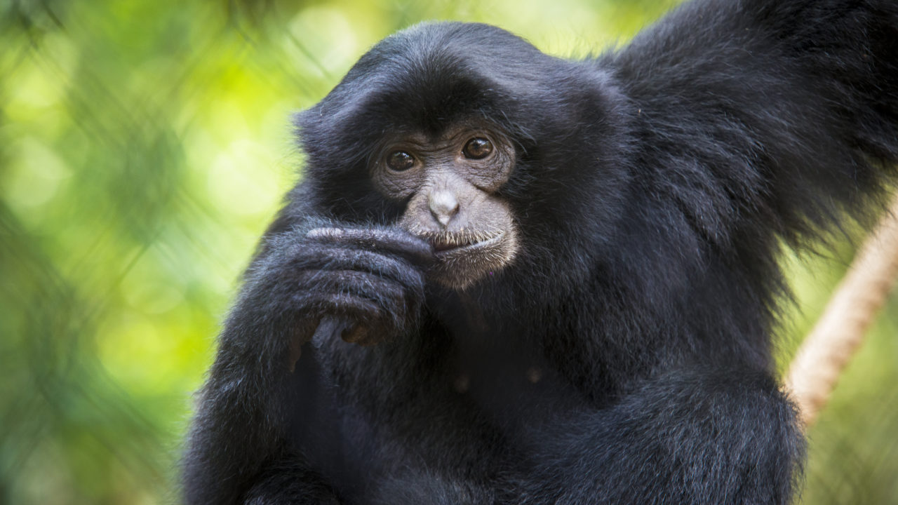 up-close shot of siamang monkey sitting on branch