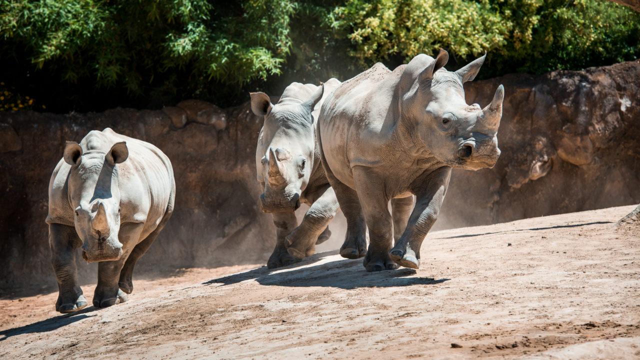 three southern white rhinos running in habitat