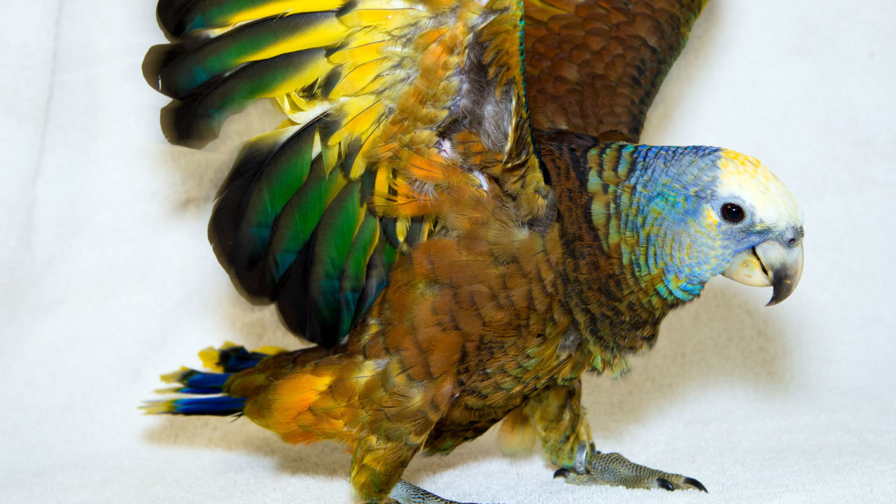 St. Vincent parrot flapping its wings