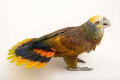 St. Vincent parrot posing