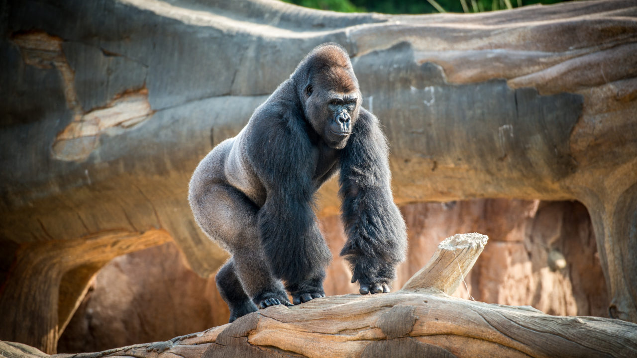 male gorilla walking on tree log