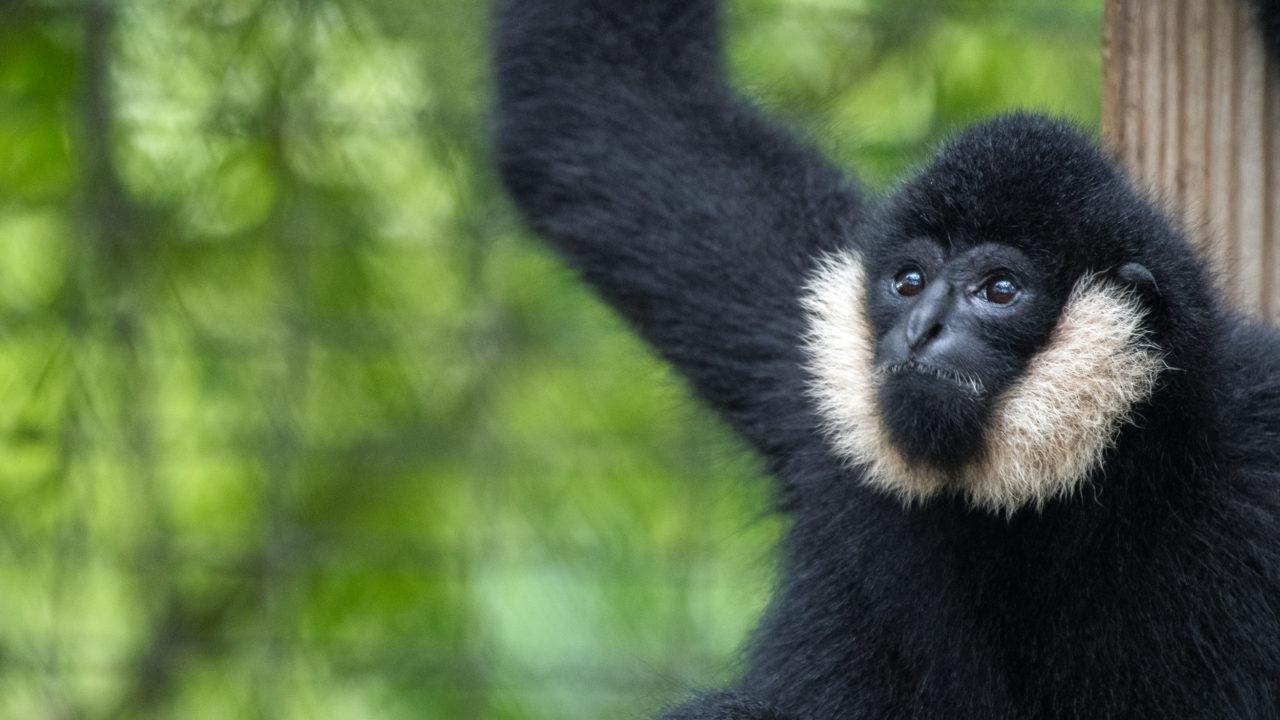 northern white cheeked gibbon monkey