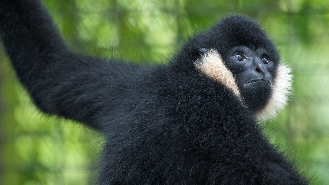 northern white cheeked gibbon monkey
