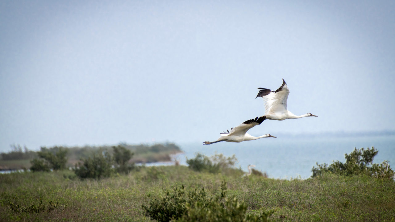 two whooping cranes flying over trees and water in the wild