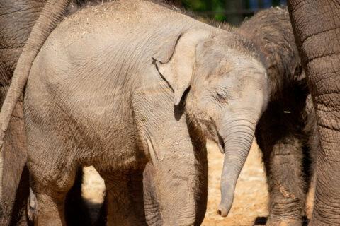 Winnie elephant outside with herd
