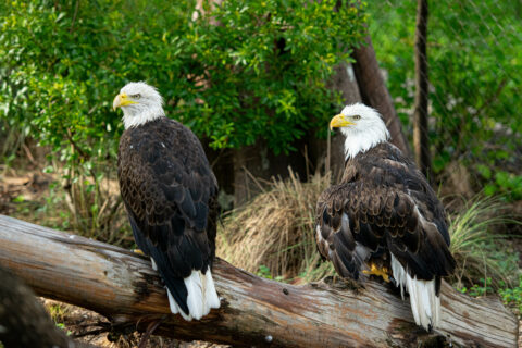 two bald eagles perched on log