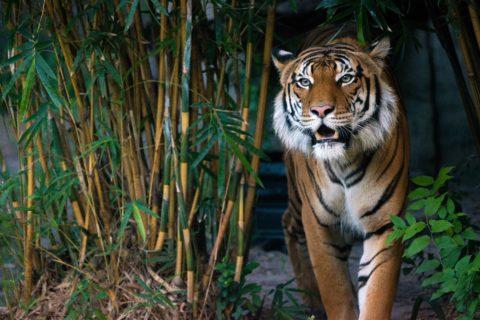 berani the malayan tiger outside
