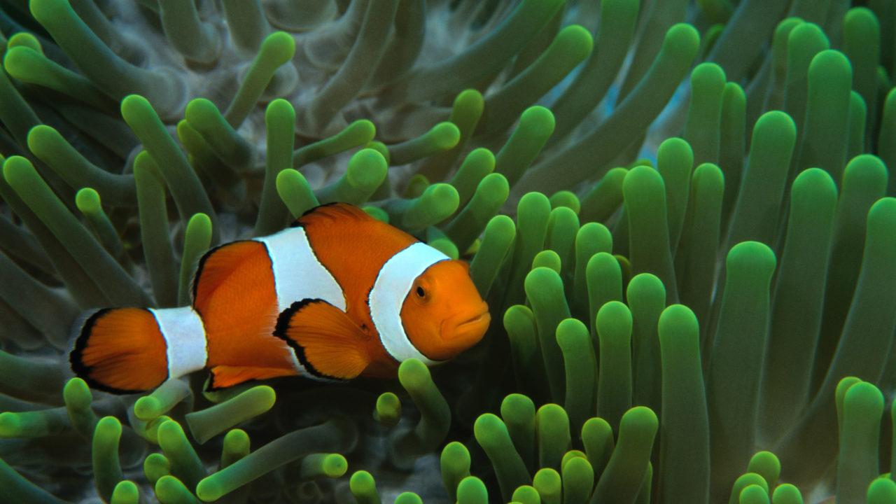 clownfish in water