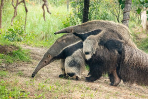 giant anteater with baby giant anteater on back walking around habitat