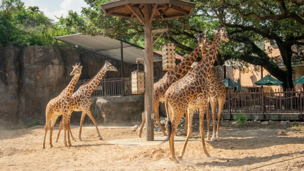 masai giraffe herd outdoors
