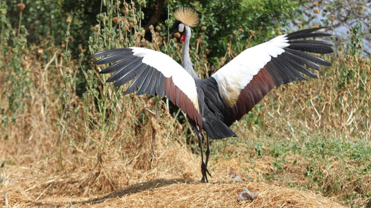 grey crowned crane spreading its wings in the wild
