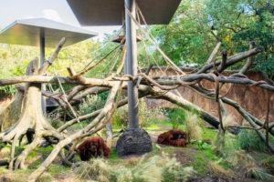 orangutans exploring their new habitat