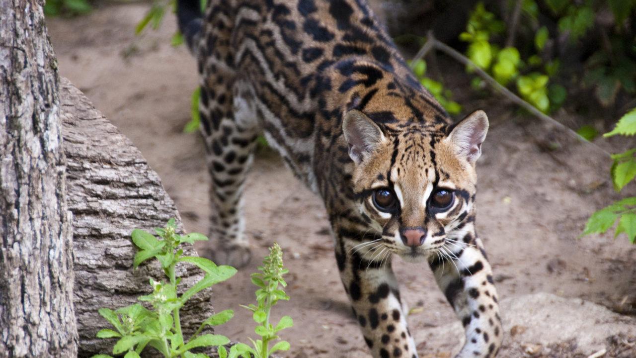 ocelot cat walking in habitat