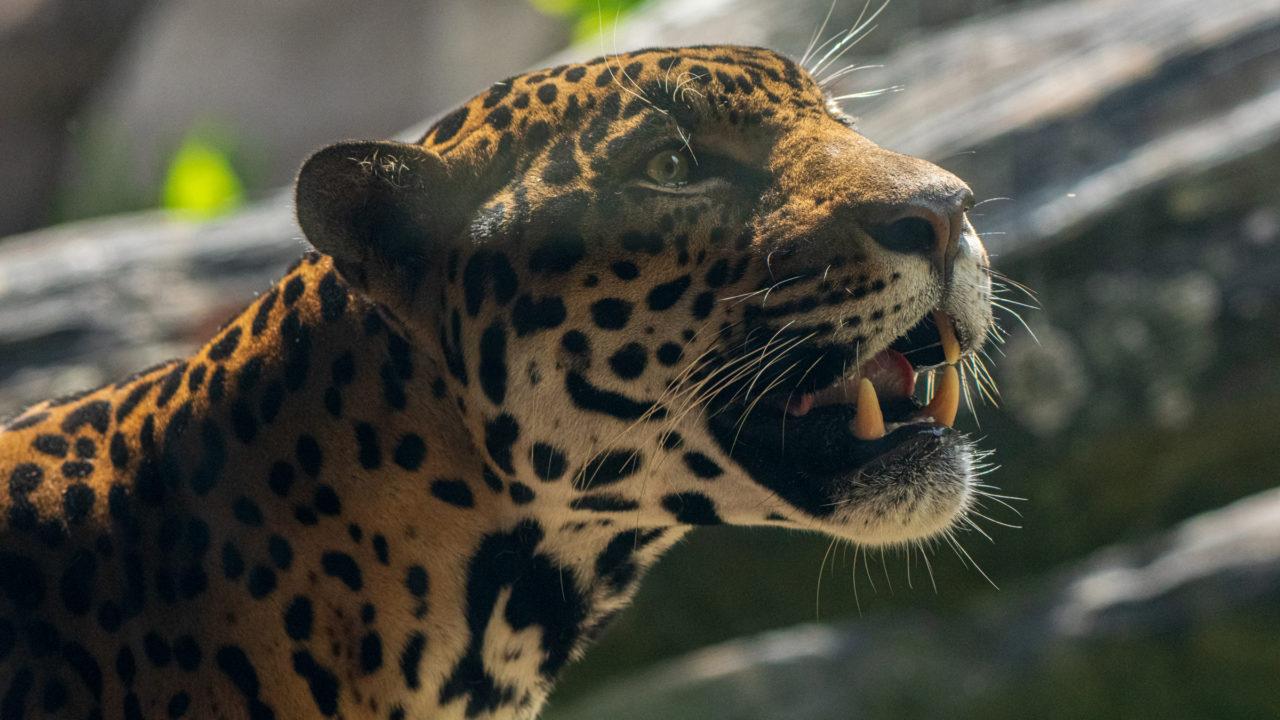 male jaguar Tesoro looking up towards the sky in habitat