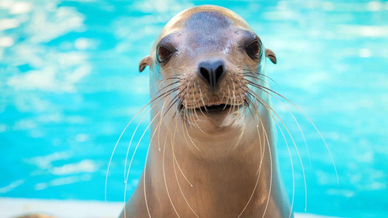 California sea lion at the Zoo