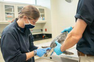 vet examining a sea turtle