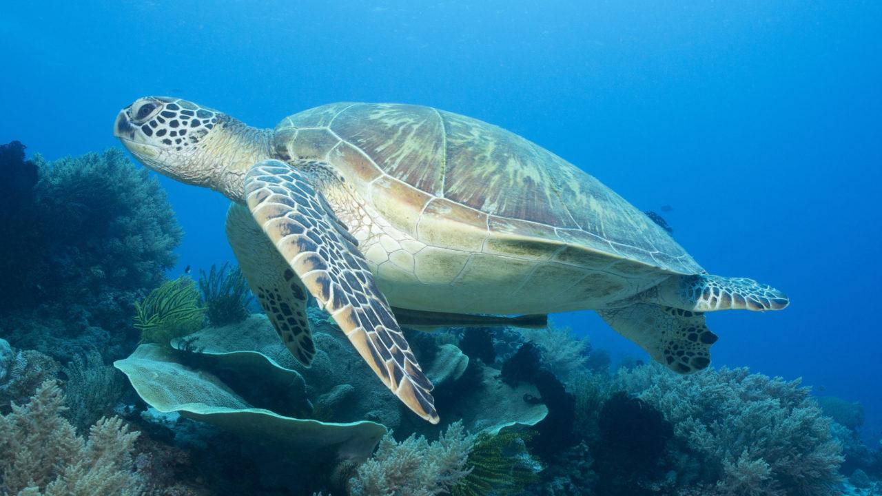 Green sea turtle swimming in the ocean