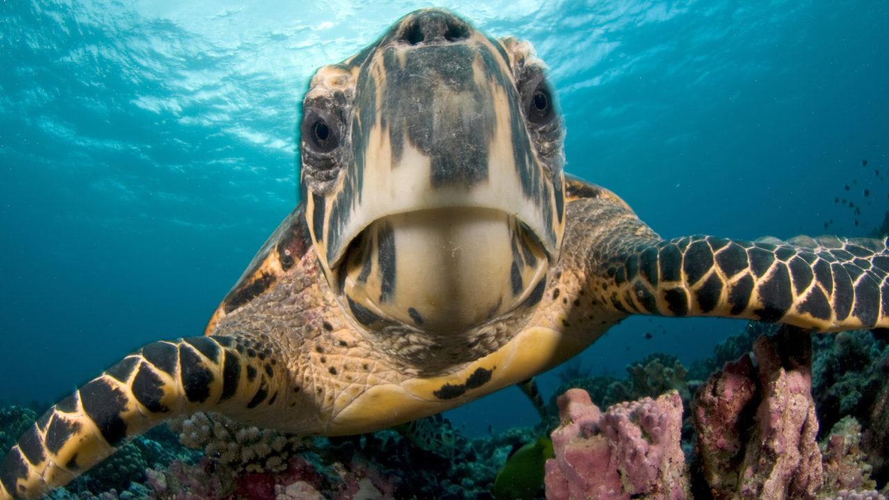 up-close shot of wild sea turtle swimming in ocean