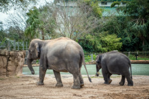 Asian elephants Shanti and Joy walking
